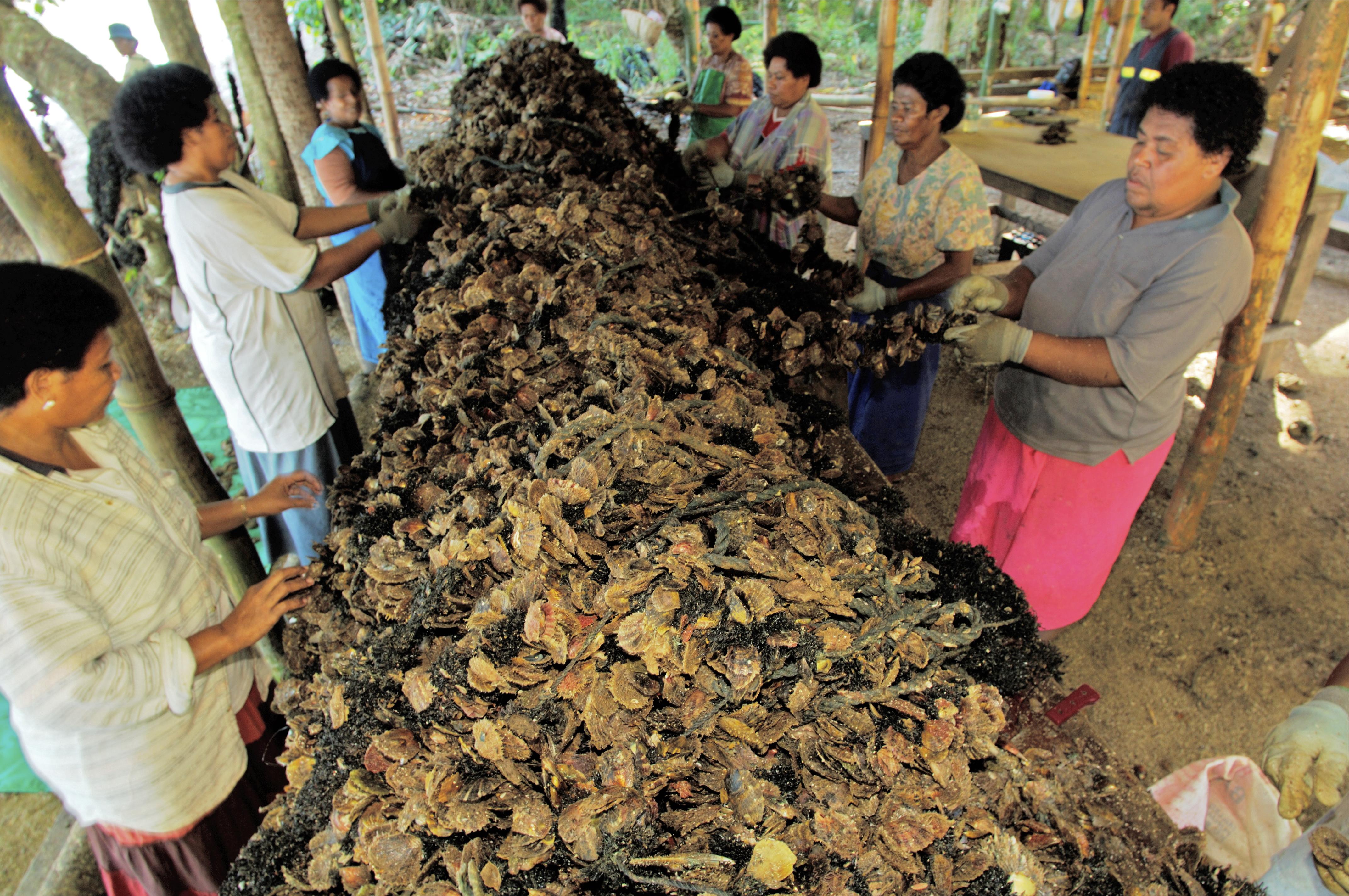 Fijian women harvesting spat collectors for J. Hunter Pearls.